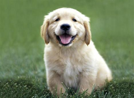 1351GoldenRetrieverPuppy30pcSmall