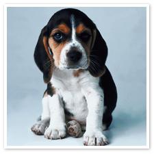 basset_hound_puppy