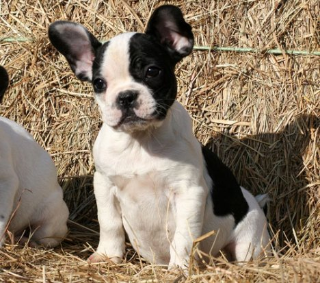 french bulldog puppy-2