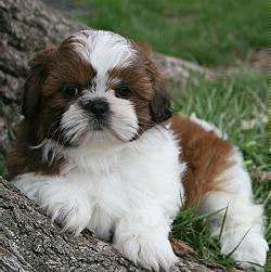 shih tzu puppy 2jpg