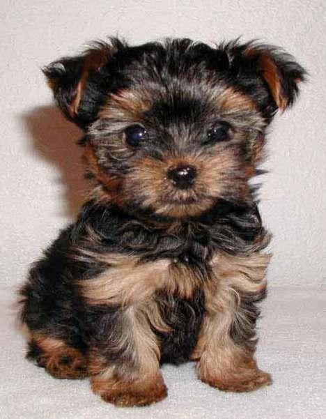 yorkie-yorkshire-terrier-puppy