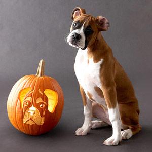Boxer Pumpkin