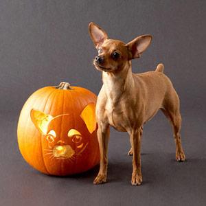 Chihuahua Pumpkin
